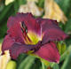 Picture of Abbey Purple daylily