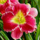 Picture of Goodnight Kisses daylily